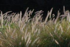 Красивые тростники сверкая на заходе солнца стоковые фотографии rf