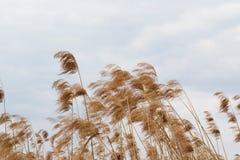 Красивые тростники стоковое фото