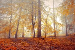 Красивые туманные лесные деревья падения Стоковая Фотография RF