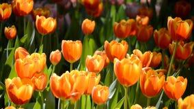 Красивые тюльпаны зацветая в саде сток-видео
