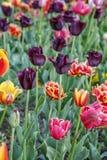 Красивые тюльпаны цветут в поле тюльпана на весеннем дне Стоковое Изображение RF