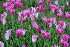 Красивые тюльпаны Стоковые Изображения RF