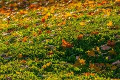 Красивые упаденные кленовые листы на туберкулах зеленой травы, осени †поздним летом «â€ насыпей «предыдущей стоковое фото rf