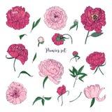 Красивые установленные пионы Вручите вычерченные цветки, бутоны и листья цветения Красочное собрание иллюстрации вектора Стоковые Изображения