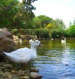 Красивые утки в пруде Стоковая Фотография RF