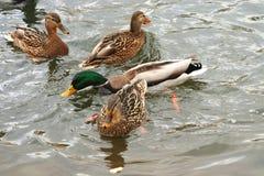 Красивые утки в холодной воде 25 Стоковая Фотография