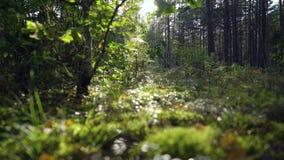 Красивые утро или вечер, заход солнца восхода солнца в одичалом ` s солнца солнечного света леса излучают блески через листья и д акции видеоматериалы