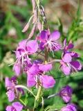 Красивые фиолетовые полевые цветки в луге, Литве Стоковые Фото