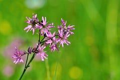 Красивые фиолетовые цветки на луге с запачканной предпосылкой стоковые изображения rf