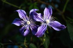 Красивые фиолетовые цветки отражают их элегантность стоковое фото