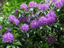 Красивые фиолетовые цветки рододендрона, конец вверх Стоковые Изображения RF