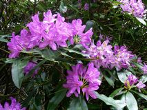 Красивые фиолетовые цветки рододендрона, конец вверх Стоковая Фотография
