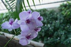 Красивые фиолетовые орхидеи в саде Стоковое Изображение