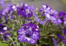 Красивые фиолетовые петуньи звездной ночи Стоковые Фотографии RF