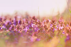 Красивые фиолетовые цветки луга Стоковые Фотографии RF