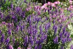 Красивые фиолетовые цветочные сады Стоковое Фото
