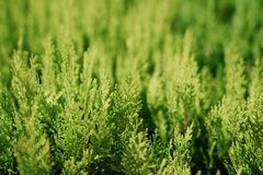 Красивые хворостины ели на запачканной предпосылке, outdoors детеныши вала сосенки ветви Стоковые Изображения