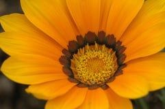 Красивые хризантемы Стоковое Фото