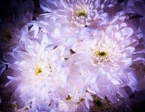 Красивые художнические голубые и белые хризантемы Стоковое Изображение RF