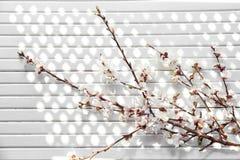 Красивые цвести ветви на белой деревянной предпосылке стоковое фото