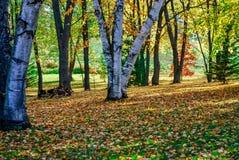 Красивые цвета падения и деревья березы с Солнцем на день осени стоковое фото rf