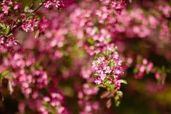 Красивые цветения пинка дерева весны предпосылка Стоковое Изображение RF