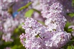 Красивые цветения сирени Стоковое Изображение RF