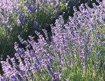 Красивые цветки лаванды в природе Стоковое Изображение RF