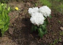 Красивые цветки астры Стоковое Изображение