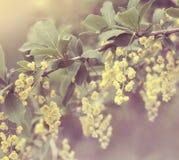 Красивые цветки барбариса с мягким фокусом Стоковые Фото