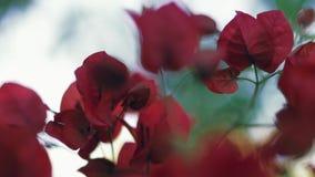 Красивые цветки бугинвилии или бумажные цветки закрывают вверх сток-видео
