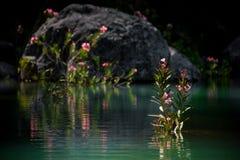Красивые цветки воды в красивом пруде Стоковая Фотография