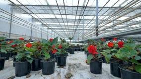Красивые цветки в баке сада Парник огромного завода растущий 4K видеоматериал