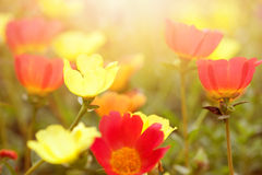 Красивые цветки в различных цветах в предыдущем заходе солнца Стоковая Фотография RF
