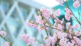 Красивые цветки дерева Сакуры и современного стеклянного здания видеоматериал