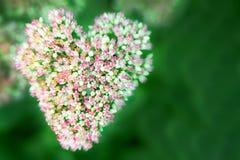 Красивые цветки или очиток Sedum сада Стоковое Изображение RF