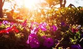 Красивые цветки имеют розовый цвет, красный цвет, оранжевый цвет и меньшее bokeh между заходом солнца Стоковые Фото