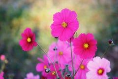 Красивые цветки космоса в саде - (Селективный фокус) Стоковые Фотографии RF