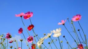 Красивые цветки космоса и голубое небо Стоковые Фотографии RF