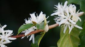 Красивые цветки 2 кофе lues gayo стоковая фотография