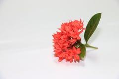 Красивые цветки красного цвета шипа Стоковые Фотографии RF