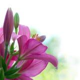 Красивые цветки красных, фиолетовых лилий Стоковые Фото