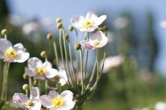Красивые цветки кукушки Стоковые Фотографии RF