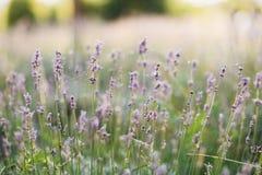 Красивые цветки лаванды с росой утра на конце сети паука вверх в солнечном свете в луге r armoring стоковое фото rf
