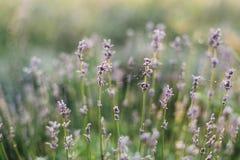 Красивые цветки лаванды с росой утра на конце сети паука вверх в солнечном свете в луге r armoring стоковое изображение rf