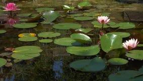 Красивые цветки лотоса в пруде сток-видео