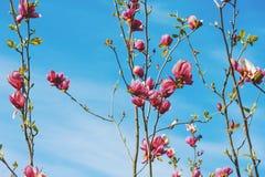 Красивые цветки магнолии против голубого неба стоковое фото rf