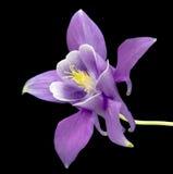 Красивые цветки маргаритки изолированные на черной предпосылке стоковые фотографии rf