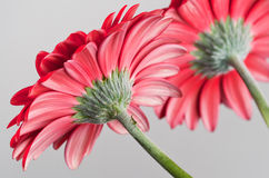 Красивые цветки маргаритки Gerbera Стоковая Фотография RF