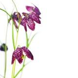 Красивые цветки над белизной Стоковая Фотография